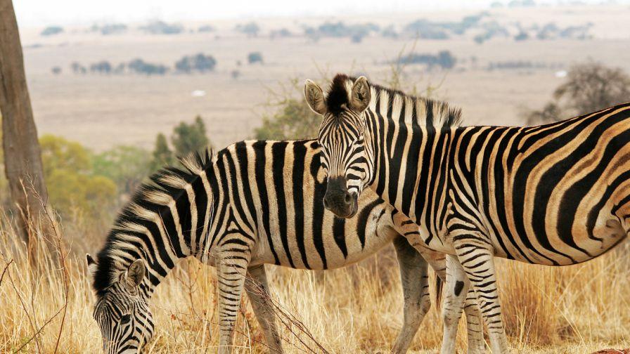 Zebra wildlife - AVCMS